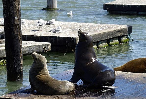 Seals Closures San Francisco Fisherman'S Dwarf Cal