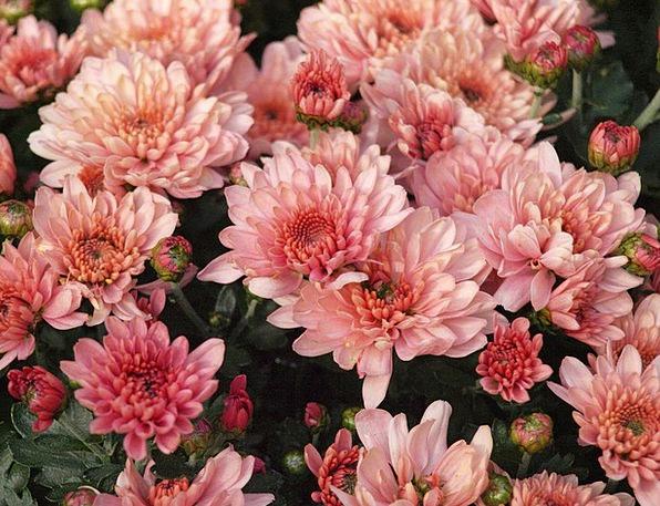 Herbstaster Flushed Flower Floret Pink Garden Plot