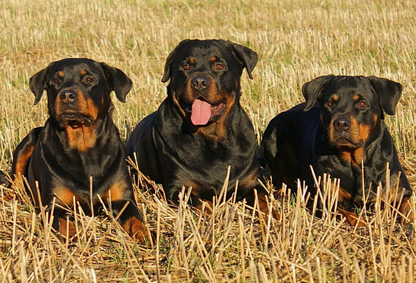 Rottweiler Canine Dogs Canines Dog