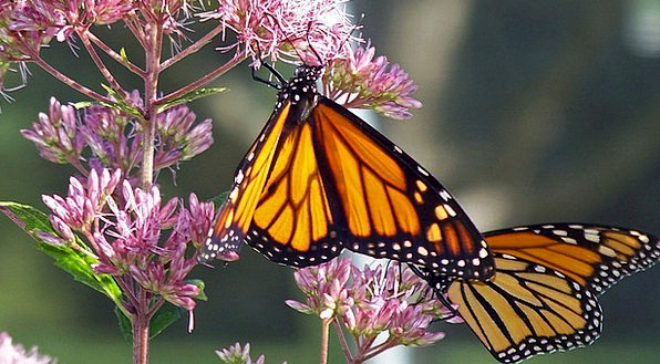 Butterfly Ruler Insect Monarch Flower Orange Carro