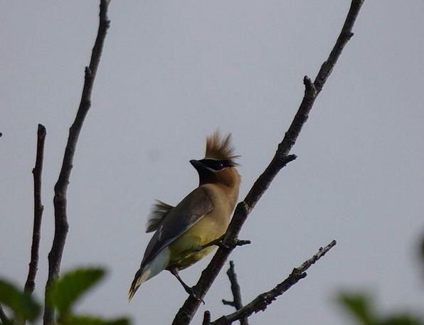 Cedar Waxwing Bird Fowl Wild Hair