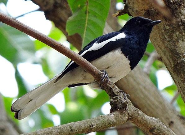 Oriental Magpie-Robin Masculine Copsychus Saularis