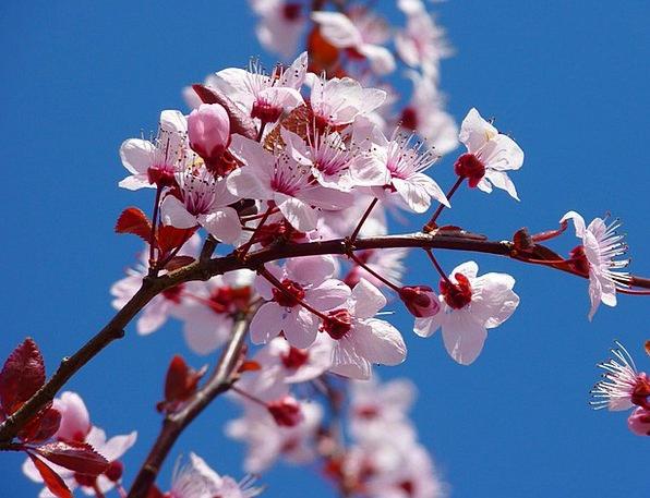 Almond Blossom Japanese Cherry Trees Cherry Blosso