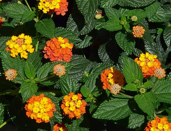Lantana Landscapes Nature Ornamental Plant Lantana