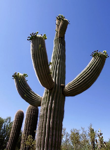 Cactus Landscapes Huge Nature Desert Reward Giant