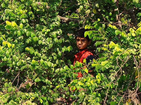 Boy On Tree Tree Sapling Picking Fruits Botanical
