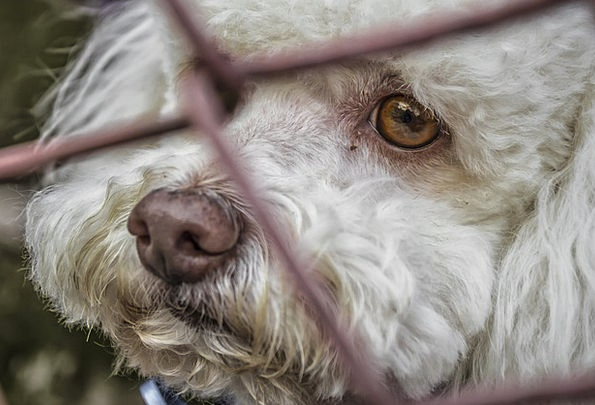 Dog Canine Imprisoned Race Competition Locked Up W