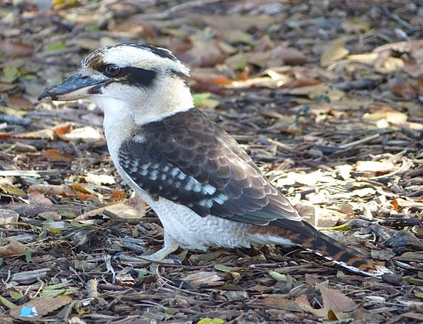 Kookaburra Bird Fowl Australian Native Bird