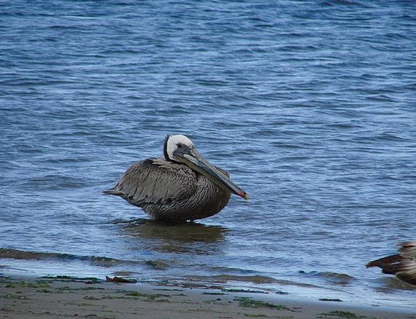 Pelikan Aquatic More Additional Water Seevogel