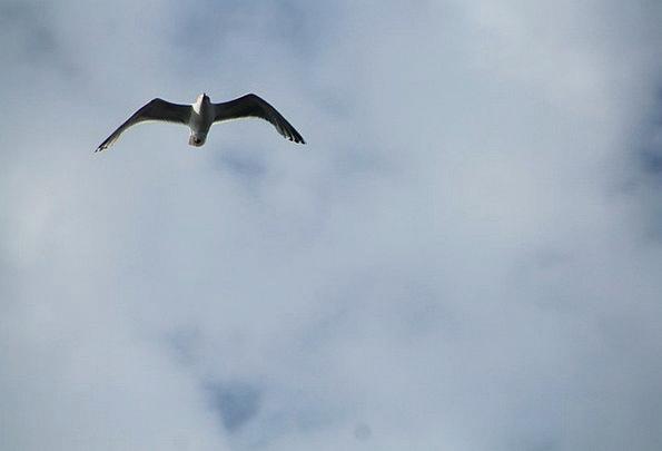 Seagull Old Sky Grey Flight Bird Fowl Freedom Whit