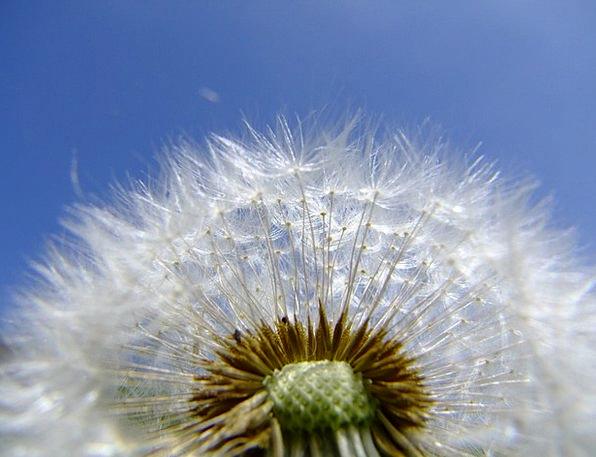 Dandelion Landscapes Floret Nature Summer Straw-ha