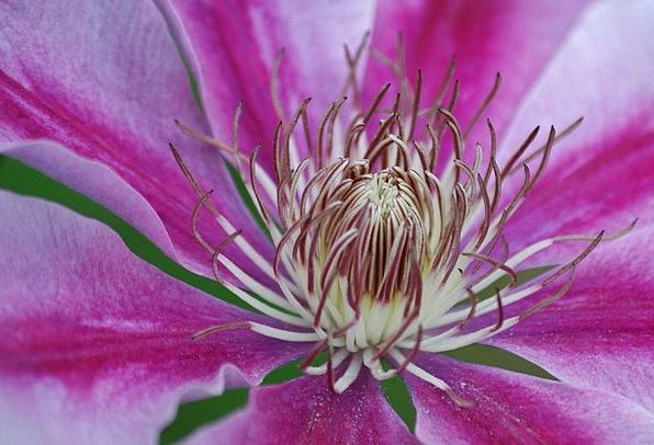 Clematis Landscapes Nature Flower Floret Clematis