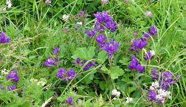 Allgäu Meadow Field Mountain Flowers Violet Mauve