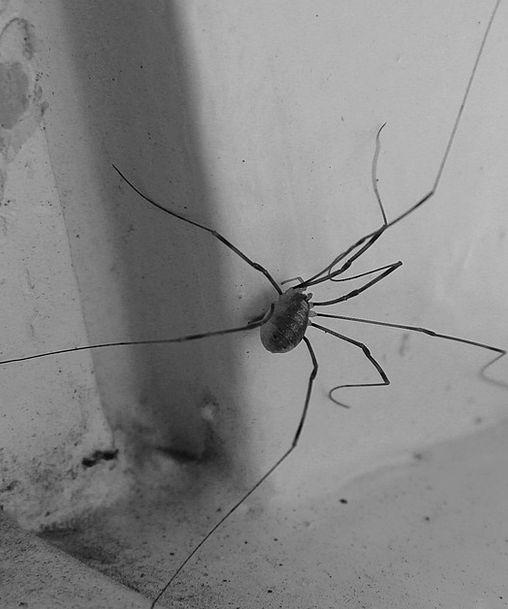 Spider Arachnids Lockespindel Window Gap Eight Lon
