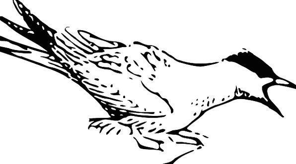 Bird Fowl Wings Annexes Tern Shorebird Feathers Do