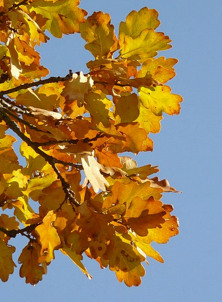 Oak Leaves Landscapes Nature Quercus Oak Forest Se