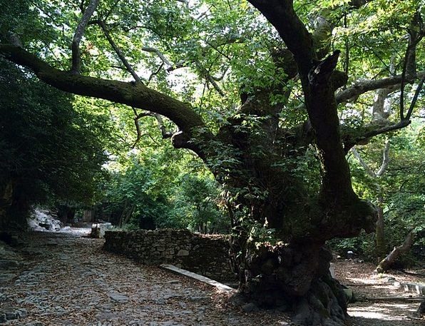 Tree Sapling Landscapes Ancient Nature Oak Old Age