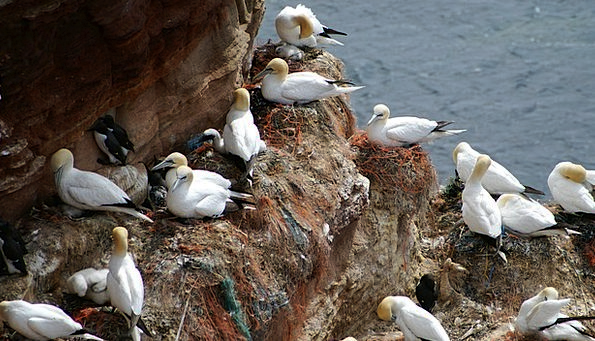 Helgoland Nest Shell Northern Gannet Bird Fowl Net