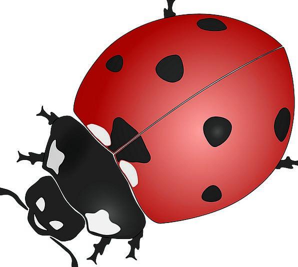 Ladybug Bug Beetles Insects Insect Coccinelid Cocc
