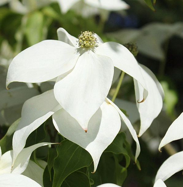 White Dogwood Landscapes Nature Woody Plant Dogwoo