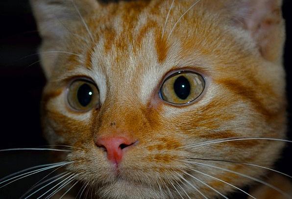 Kitten Expression Domestic Animal Face Red Kitten