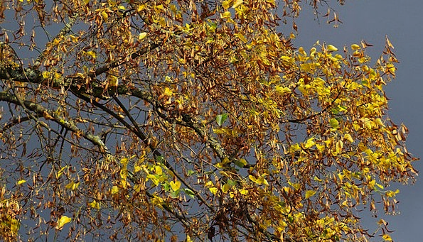 Autumn Fall Linde Autumn Mood Dark Clouds Emerge A