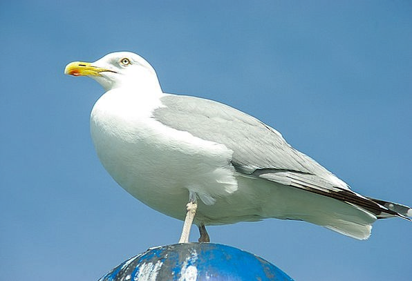 Sibermoewe Water Bird Larus Argentatus Baltic Sea