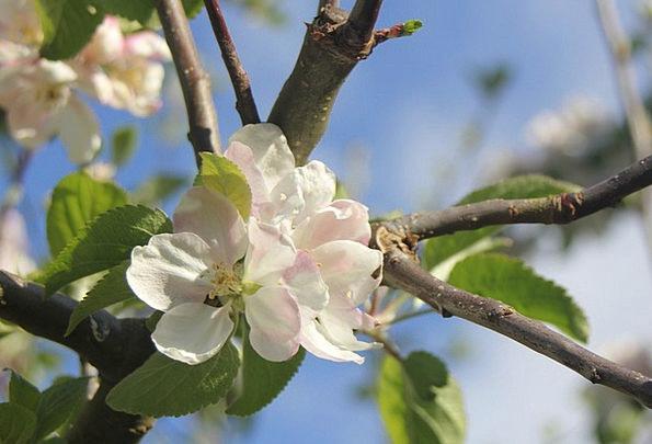Apple Tree Tree Sapling Apple Blossom Flower Flore