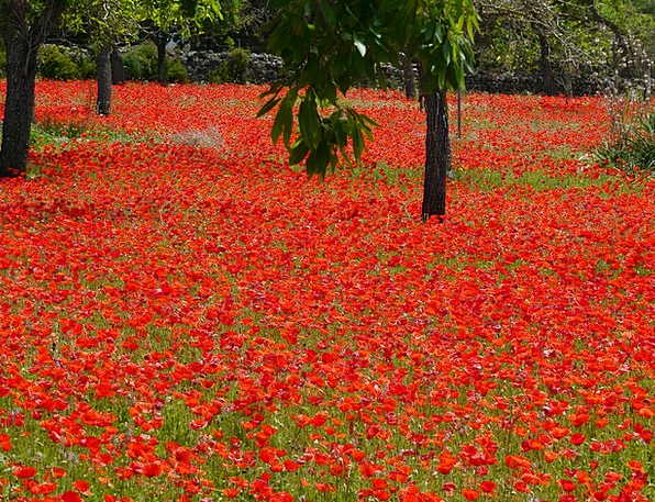 Red Poppy Landscapes Nature Poppies Field Of Poppi