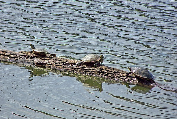 Turtles Basking Lying Sunning Tortoise Log Record