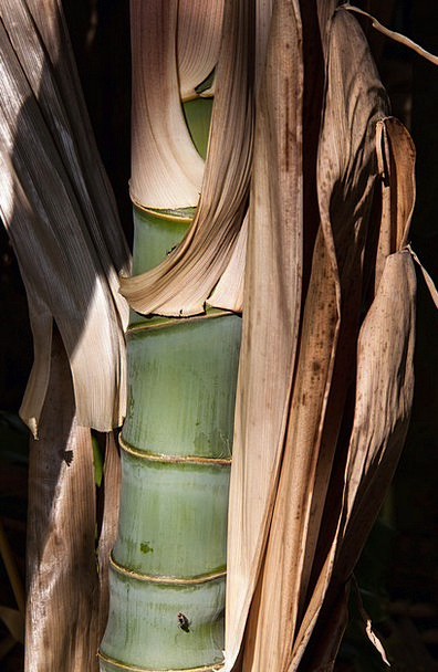 Bamboo Cane Grass Lawn Bamboo Shoot Leaves Bamboo