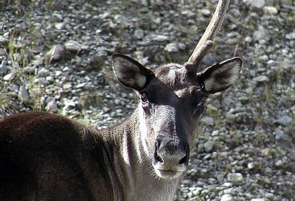 Caribou Physical Unicorn Animal Horn Siren Creatur