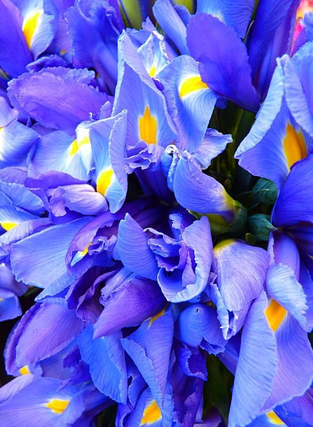 Iris Azure Flowers Plants Blue