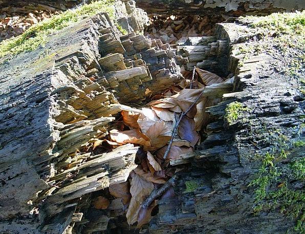 Rotten Wood Spurt Fragmented Disjointed Burst Log