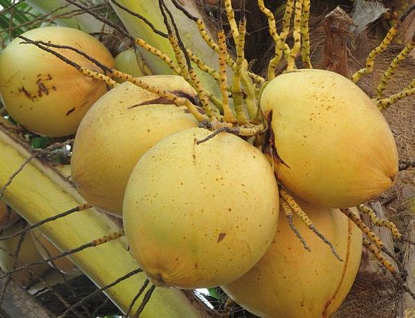 Coconuts Mad Cocos Nucifera Nuts Coconut Palm Frui