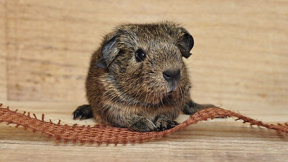 Guinea Pig Physical Fur Hair Animal Cute Attractiv