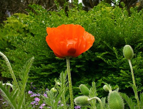 Klatschmohn Landscapes Nature Poppy Bud Poppy Popp
