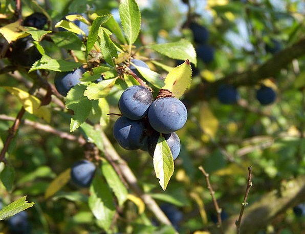 Sloes Near Berries Close Harvest Crop Fruits Bush