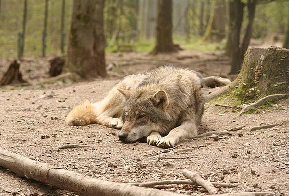 Wolf Casanova Landscapes Nature Enclosure Inclusio