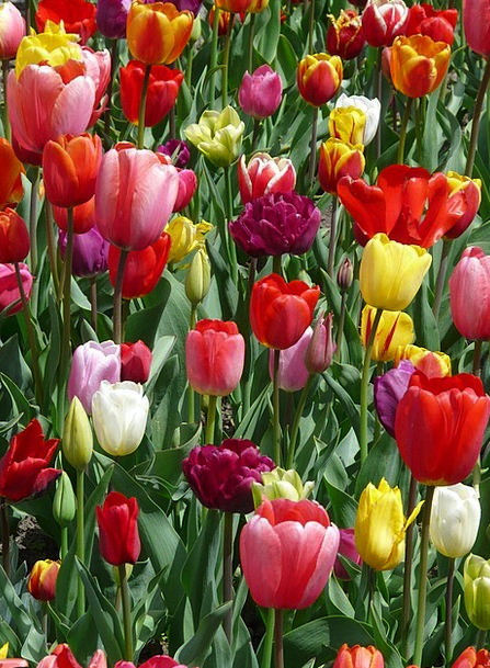 Tulips Landscapes Nature Flowers Plants Tulpenblue