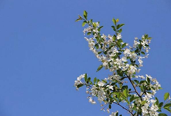 Begonia Flower Azure Fresh New Blue