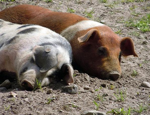 Piglet Glutton Snuggle Nestle Pig