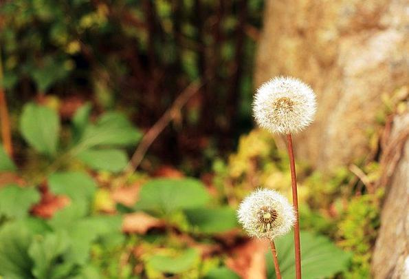 Dandelion Landscapes Plants Nature Nature Countrys