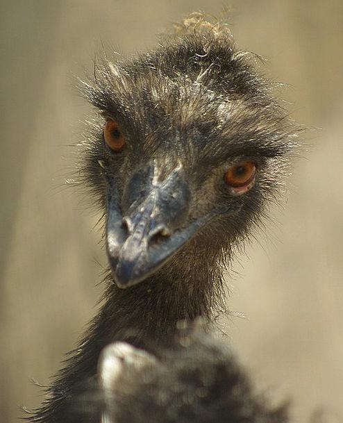 Emu Representation Zoo Menagerie Portrait