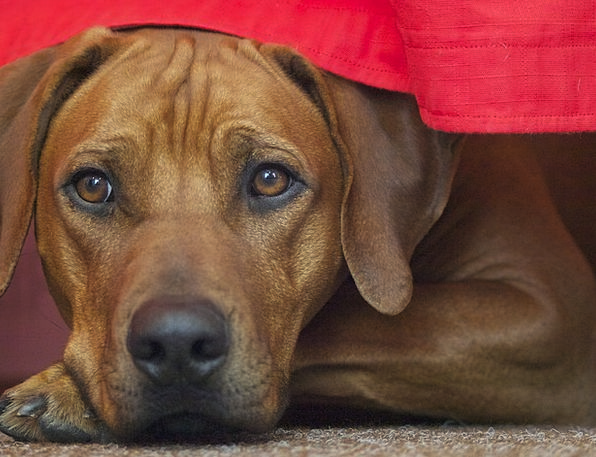 Rhodesian Ridgeback Canine Dog Breed Dog Brown Cho