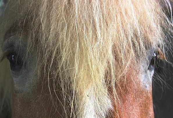 Horse Mount Horse Head Kaltblut Mane Shock Brown V