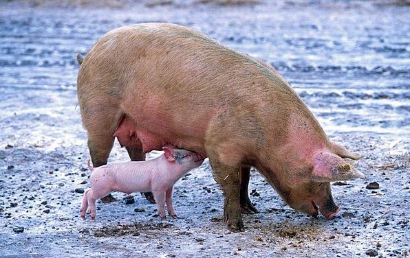 Pig Glutton Spread Piglet Sow Rural Nursing Treatm