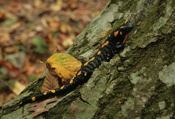 Salamander Landscapes Nature Yellow Creamy Fire Sa