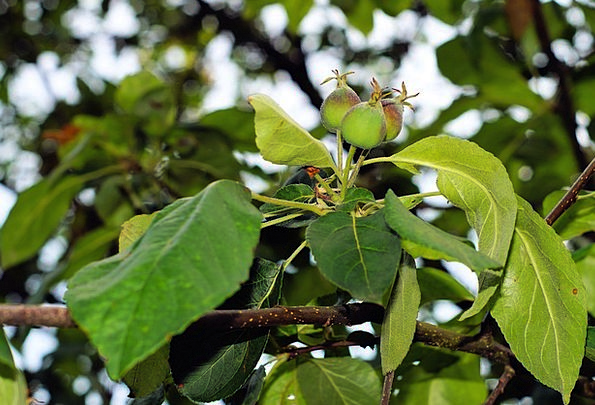 Apple Tree Landscapes Greeneries Nature Young Appl