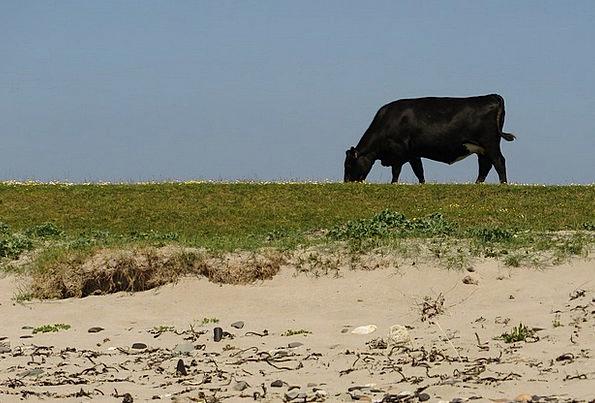 Cow Intimidate Vacation Seashore Travel Bed Divan